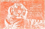 Click here to enlarge image and see more about item n0596: Siberian Tiger Postcard