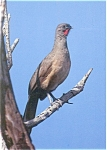 Click here to enlarge image and see more about item n0604: The Plain Chachalaca Pheasant like Bird Postcard n0604