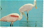 Click here to enlarge image and see more about item n0605: Roseate Spoonbill Postcard n0605