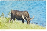 Click here to enlarge image and see more about item n0739: Bull Moose Postcard n0739