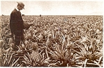Click here to enlarge image and see more about item n0776: James Dole Ca 1916 Pineapple Field HI Postcard