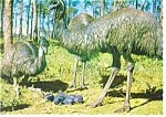 Click here to enlarge image and see more about item n0780: A Family Group of Emus Postcard