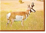 Click here to enlarge image and see more about item n0880: Pronghorn Antelope Postcard n0880