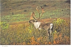 Click here to enlarge image and see more about item n0881: Caribou Postcard n0881
