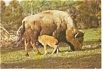 Bison and Calf Postcard n0882