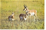 Click here to enlarge image and see more about item n0884: Pronghorn Antelope Herd Postcard n0884