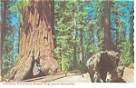Click here to enlarge image and see more about item n0886: General Lee Redwood Tree Kings Canyon National Park CA Postcard n0886