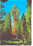 General Grant  Sequoia Tree Postcard