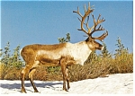 Click here to enlarge image and see more about item n0933: Majestic Mountain Caribou Postcard n0933