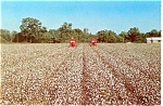 Harvesting Cotton in the Deep South Postcard