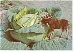Click here to enlarge image and see more about item n0955: Alaska's Moose in the Cabbage Patch Postcard