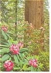 Redwood Rhododendron Postcard