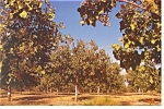 Click here to enlarge image and see more about item n1009: Pistachio Orchard San Joaquin Valley, CA Postcard n1009