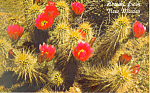Click here to enlarge image and see more about item n1081: Strawberry Hedgehog Cactus,NM Postcard 1981