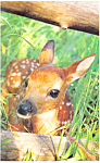 Spotted Fawn Postcard