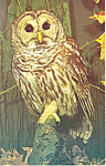 Barred Owl Postcard