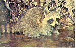 Click here to enlarge image and see more about item n1088: Raccoon Postcard n1088