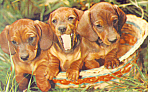 Dachshunds Postcard
