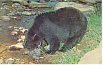Click here to enlarge image and see more about item n1163: Black Bear  Postcard n1163 1965