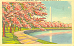 Washington Monument Cherry Blossom Time Postcard