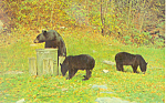 Three Black Bears Postcard