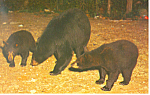 Mother Black Bear and Cubs Postcard