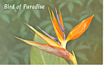 Bird of Paradise Hawaii Postcard n1210