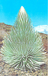 Click here to enlarge image and see more about item n1219: Haleakala Silversword
