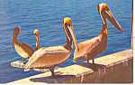 Pelicans-A Most Peculiar Bird