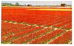 Click here to enlarge image and see more about item p0214: Field of Flowers Holland   Postcard