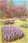 Click here to enlarge image and see more about item p0775: Hyacinths in Blossom Holland Postcard p0775
