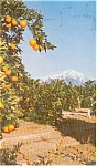 Click here to enlarge image and see more about item p0805: United Airlines CA Orange Groves Postcard p0805