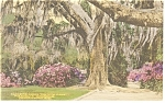 Click here to enlarge image and see more about item p10270: Charleston, SC, Magnolia Gardens Hand Colored Postcard