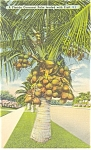 Cocoanut Palm in Florida Linen Postcard
