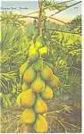 Papaya Tree in Florida Linen Postcard