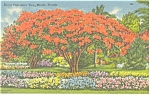 Miami,Florida Royal Poinciana Tree Postcard p10385
