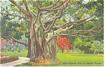 Florida Giant Banyan Tree Postcard p10387