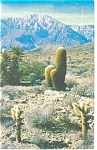 Click here to enlarge image and see more about item p10487: Cholla Cactus in a Desert Panorama Postcard p10487
