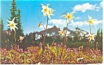 Click here to enlarge image and see more about item p10489: Mt Rainier, WA, Avalance Lily Postcard 1956