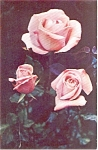 Click here to enlarge image and see more about item p1068: Pink Hybrid Roses Morrisville PA  Postcard p1068