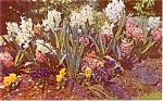 Click here to enlarge image and see more about item p1075: Spring Hyacinths and Pansies  Postcard p1075