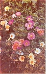 Click here to enlarge image and see more about item p1076: Portulaca   Postcard p1076