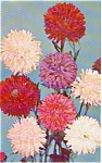 Click here to enlarge image and see more about item p1077: Annual Asters   Postcard