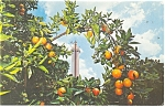 Click here to enlarge image and see more about item p10788: Clermont FL Citrus Tower Postcard p10788 1967