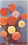 Click here to enlarge image and see more about item p1078: Mixed Pom Pom Dahlias  Postcard p1078