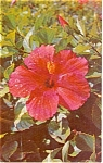 Click here to enlarge image and see more about item p1080: Hibiscus in Bloom  Postcard p1080