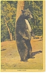 Click here to enlarge image and see more about item p10955: Bear at Yosemite National Park Postcard p10955 1952