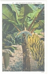 Florida Bud and Fruit of Banana Tree Postcard p11156