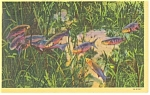 Silver Springs, FL,  The Fish Kingdom Postcard