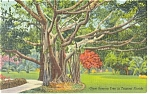 Giant Banyan Tree Tropical Florida Postcard p11198